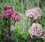 Sedum 'Dark Matrona'